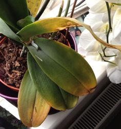 Why are my orchid leaves turning yellow?If your bottom orchid leaf has turned yellow it does not necessarily mean your orchid is sick or dying. You can not prevent your bottom orchid leaves from tu. Inside Plants, Plants, Planting Flowers, Orchid Leaves, Plant Leaves, Orchid Photography, Orchids, Plant Care, Growing Plants