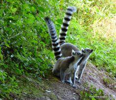 Unidentified Lemurs.