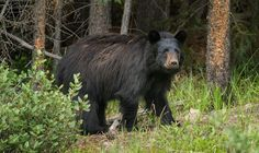 Black Bear (Ursus americanus) near Banff, Alberta - Black Bear (Ursus americanus) near Banff, Alberta