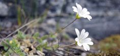 Arctic mouse-ear chickweed (Photo by Teva Harrison)
