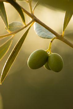 Tuscany Olives .