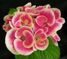 Hydrangea macrophylla 'Sensation'. A slow growing shrub with 'sensational' bicoloured flowers.