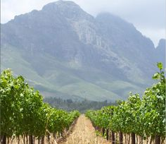 Kanonkop Stellenbosch Pinotage vineyards - take me back, please!