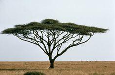 Umbrella Thorn Acacia tree, Africa