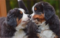 The Bernese Mountain Dog, brought in Swiss German the Berner Sennenhund, is a substantial type of pu. Bernese Mountain Puppy, Types Of Puppies, Book Of Life, Cute Animals, Pets, Crafts, Amor, Mountain Dogs, Types Of Dogs