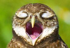 UMA CORUJA CANTANDO OU BOCEJANDO?  Poucos pássaros são tão expressivos para se fotografar quanto as corujas.  O seu olhar penetrante e a maneira de inclinar a cabeça, tudo é fotogênico quando o…