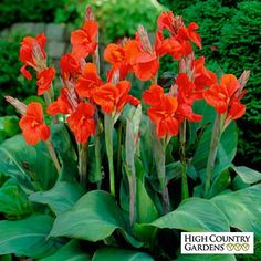 Red Canna Lily The President, Canna Lily, Large Flowering Canna Lily