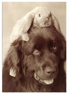 My future newfie will hold my bunnies on his head like this. :)
