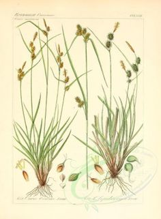 carex oederi, carex lepidocarpa - high resolution image from old book. Engraving Art, Old Book Pages, Decorating With Pictures, Art Clipart, Picture Collection, Botany, Wall Collage, Clip Art, Printable Paper