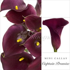 Mini Callas Purple - EbloomsDirect #roses, #Promo, #Flowers #wedding, #events, #bouquets, #arrangement, #party, #fall, #winter, #summer, #spring, #harvest, #Christmas, #garden, #centerpieces, #autumn, #tropical,#recipes,#decor,#bridal,#floral,#DIY,#gift,,#online,#valentines,#bride,#ideas,#blooms,#anniversary, #mothers #day, #baby #gardening #plants, #holidays #fashion #home, #decor, #USA, #Costco, #art, #Texas ,#design, #Sams ,#bulk, #fifty, #style, #shopping