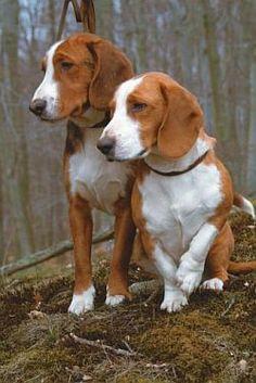 Deutsche Bracke, German Hound Dog Unique Dog Breeds, Rare Dog Breeds, Dog Breeds List, Popular Dog Breeds, Dandie Dinmont Terrier, All Dogs, I Love Dogs, Dogs And Puppies, Doggies