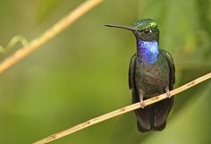 Napo Sabrewing - Campylopterus villaviscensio - This hummingbird species is found in Colombia, Ecuador and Peru and is a member of the family Trochilidae. It is becoming rare due to habitat loss. Tropical or subtropical moist montane forests are its natural habitats - Image : © Luke Seitz at www.lukeseitzart.com