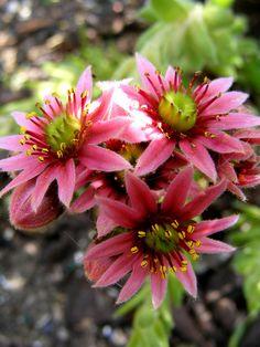 Stone plants in flower