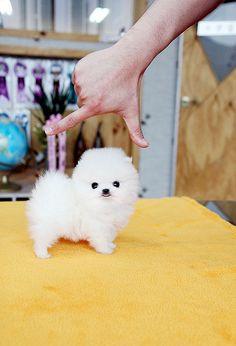 Teacup pomeranian puppy by Bow Pup, via Flickr