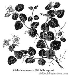 Illustration showing Partridgeberry (Mitchella repens), a North american plant in the family Rubiaceae. It is a creeping vine with dark-green leaves and white flowers. Botanical Art, Botanical Illustration, Illustration Art, Book Illustrations, Bunch Of Flowers, White Flowers, Green Leaves, Plant Leaves, Cc Images