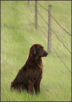 the flat coated retriever - beautiful dog!