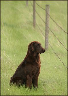 "flat coated retriever...looks just like our ""Chisholm"", who passed 12 years ago...we loved him <3"
