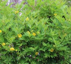 One of the great architectural foliage shrubs with the bonus that it flowers too! Choose from our extensive selection of plants and seeds online. Tree Peony, Yellow Tree, Seeds Online, Trees To Plant, Tree Planting, Peonies Garden, Fir Tree, Yellow Accents, Plant Care
