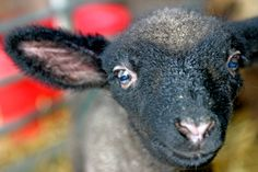 Hampshire Down - Gorgeous Flock - lambing 2014