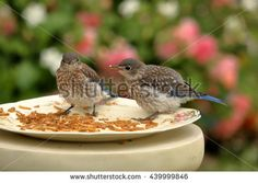 Baby Blues in the Rose Garden. A pair of juvenile Eastern Bluebirds visits the meal worm feeder in the rose garden. - stock photo