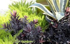 danger garden: Leucadendron 'Ebony'…my fav plant this week and foliage follow-up feature!