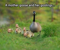 A mother goose and her ...