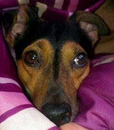 Jack-Russel-Terrier Tommi Müde bin ich, geh´zur Ruh´, mach die Hundeäuglein zu… #Hundename: Tommi / Rasse: #Jack-Russel-Terrier      Mehr Fotos: https://magazin.dogs-2-love.com/foto/jack-russel-terrier-tommi-4/ Foto, Hund
