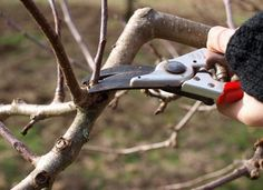 Want better production, prettier blossoms and a longer life for your fruit trees? Learn how to prune them with our beginner's guide to pruning fruit trees!