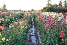 Profitable, Small-Scale Flower Farming - Organic Gardening - Heirloom Gardener