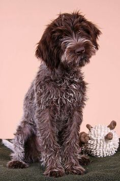 Wirehaired Pointing Griffon Sahine nielsen