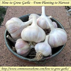 Bulbs How to Grow Garlic - From Planting to Harvest @ Common Sense Homesteading - Learn how to grow garlic, and get two harvests from one plant with yummy garlic scapes. Includes storage tips and explanation of garlic types. Growing Veggies, Growing Herbs, Permaculture, Organic Gardening, Gardening Tips, Homestead Gardens, Grow Garlic, Garlic Seeds, Grow Your Own Food