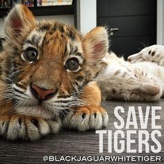 Rescued Tigers Meera, Bella and Tibet relaxing at the @blackjaguarwhitetiger foundation! Donate today and continue to help the lives of these incredible babies. #blackjaguarwhitetiger #boycottcircus #SaveTigers #babybella #babymeera #babytibet #ITSALLFORLOVE #DonateToday #NOTpets #nosonmascotas