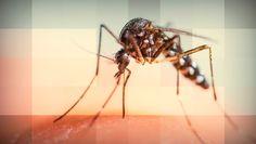#Ciencia: Os pernilongos gostam mesmo de sangue? ↪ Por @jpcppinheiro. Os mosquitos que tanto irritam no verão não vão atrás de você porque gostam de sangue, mas sim por outro motivo. Saiba qual é essa razão! Veja! http://www.curiosocia.com/2015/06/os-pernilongos-gostam-mesmo-de-sangue.html
