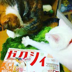💒遂に買ってしまった💒 #ゼクシィ#ピンクの婚姻届#浮かれてる #嬉しい#楽しみ#cat #🐈 #💍 #catlove #catphot #socute #白猫部#三毛猫部#愛猫#可愛いすぎ#みんな家族