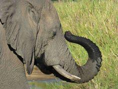 Ele the elephant. @ Kruger National Park in South Africa