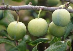 Old Green Gage plum tree - needs pollination partner
