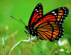 Types Of Butterfly – Below are a few of the butterflies you may find in your yard and also fast overviews of learn more about the host plants you have to attract them. As you plan your butterfly garden, determine which butterflies are native to your details area. Some are discovered worldwide, while others are ... Read more