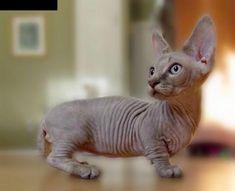 Rare and exotic Minskin kitten