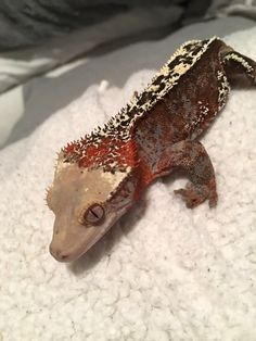 I dont even know what you would call this morph of crested gecko Cute Reptiles, Reptiles And Amphibians, Mammals, Geckos, Crested Gecko Care, Animals And Pets, Cute Animals, Cute Gecko, Reptile Room