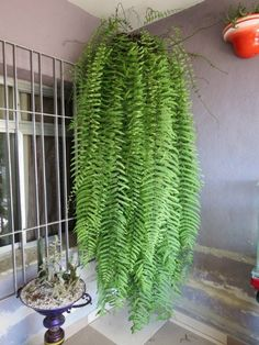 Hanging Baskets, Hanging Plants, Potted Plants, Cactus Plants, Garden Plants, Indoor Plants, Growing Flowers, Growing Plants, Fern Plant