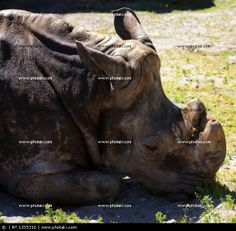 http://www.photaki.com/picture-gray-rhinoceros-lying-on-green-grass-in-the-city-zoolgico_1335310.htm