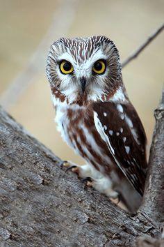 Photo by Megan Lorenz -  Saw-Whet Owls