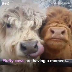 Fluffy Cows Are Having a Moment And We Are HERE For It You can find these cuties at Happy Hens & Highlands Farm. Cute Cows, Cute Funny Animals, Cute Baby Animals, Funny Cute, Animals And Pets, So Cute, Cute Baby Cow, Happy Animals, Fluffy Cows