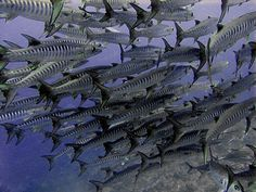 barracuda http://www.messersmith.name/wordpress/wp-content/barracuda_p3010905.jpg