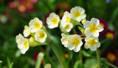 In praise of primroses - Primrose groups; care tips - Perennials - Plants - Canadian Gardening