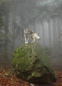 """Only a mountain has lived long enough to listen objectively to the howl of a wolf."" -Aldo Leopold"