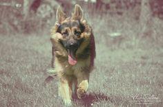Our German Shepherd, Amit-Diesel from Fayzah's Farm