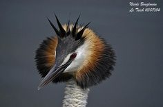Great Crested Grebe (Podiceps cristatus) by Nicole Bouglouan.
