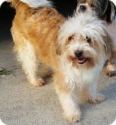 Pictures of Ginger a Lhasa Apso for adoption in Weeki Wachee, FL who needs a loving home. Small Dog Adoption, Pet Adoption, Animal Adoption, Weeki Wachee Florida, Shih Tzu Mix, Animal Rescue Site, Lhasa Apso, Bichon Frise, Dogs