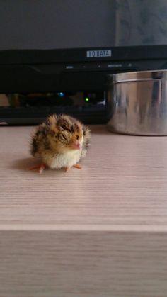温めてたウズラの卵が孵ったwwww : ハムスター速報